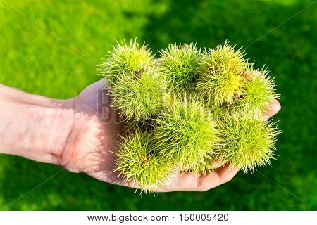 Green husks of sweet chestnut tree on male hand