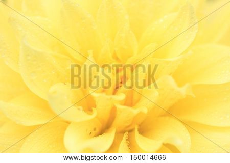 Macro of a yellow dahlia - cultivar Dutch boy