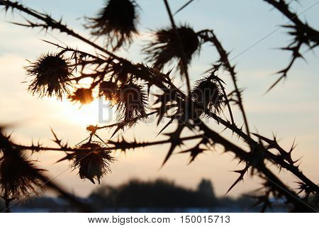 Burdock shadow silhouette full of thorn on winter dusk sunset background
