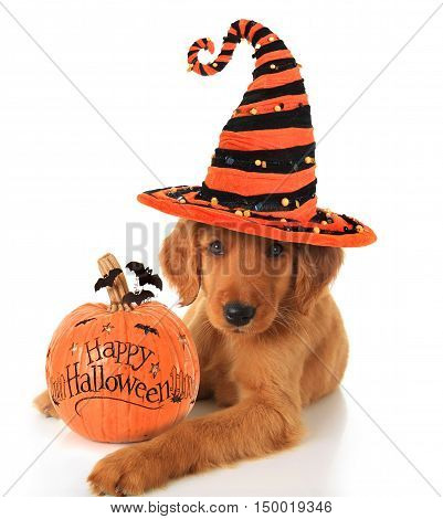 Cute Halloween puppy with a pumpkin for holloween