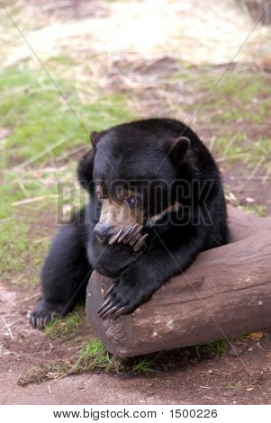 A sunbear pauses to take a rest on a log with a thoughtful expression on it's face. poster