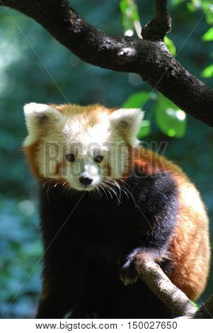 Really adorable lesser panda bear face looking straight ahead