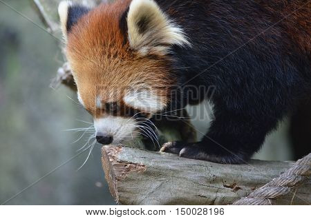 Side view of a cute red panda bear with long whiskers.