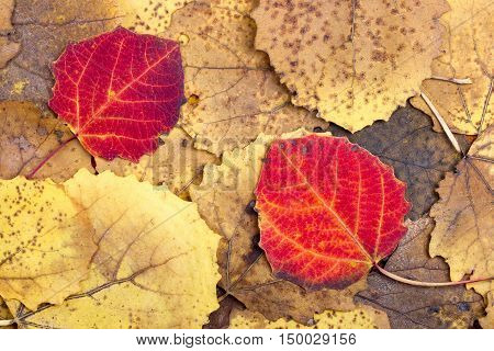 Natural background from autumn colourful aspen leaves