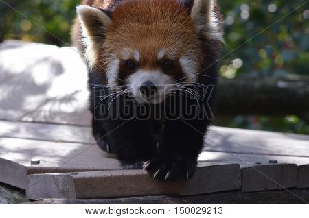 Beautiful red panda bear with a very cute face.