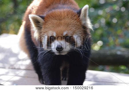 Amazing red panda bear with very long whiskers.