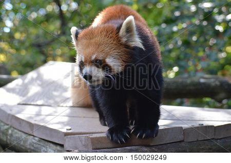 Cute lesser panda bear with very long claws.