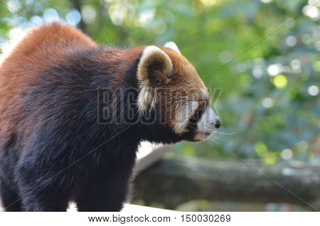 Great profile of a Chinese red panda bear.