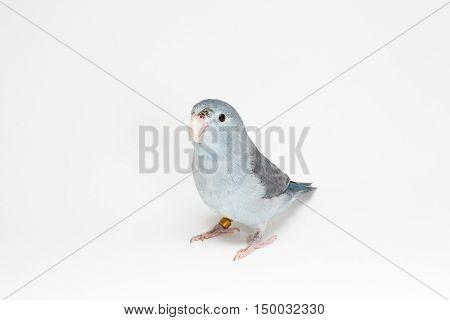 Mauve Forpus Parakeet, Bird