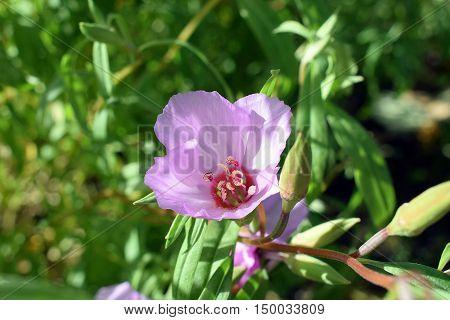 Clarkia amoena, also known as Farewell to spring or Godetia