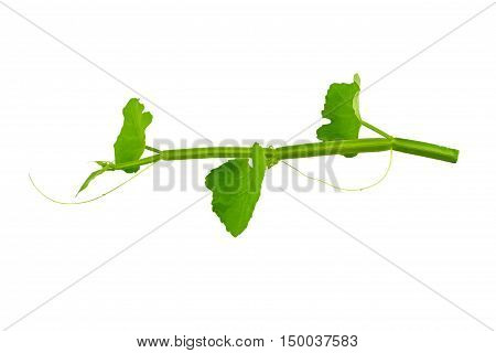 lose up fresh of Cissus Quadrangularis Linn.( Edible - Stemed Vine ) herb for pain treatment on white background.Saved with clipping path.