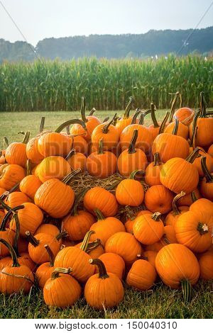 A pile of pumpkins near a cornfield in rural Central New Jersey.