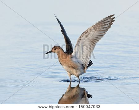Ruff standing i blue water with open wings