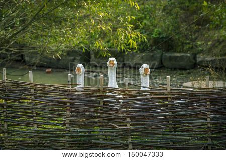 Geese behind wattled fence - Funny image from a german bird farm with three geese stretching their necks over a twig fence.