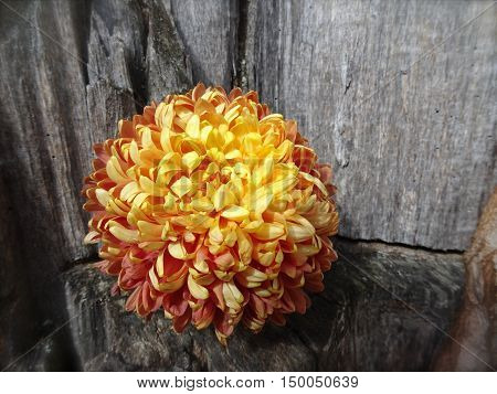 Sunshine highlights a large autumn pom-pom mum with a gray weathered wood background.