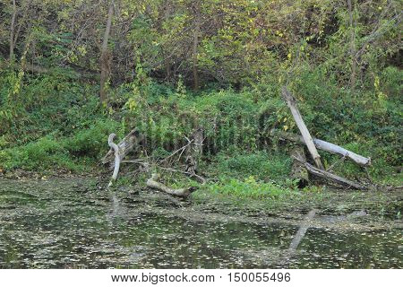 swamp in green forest. tree fell into the water