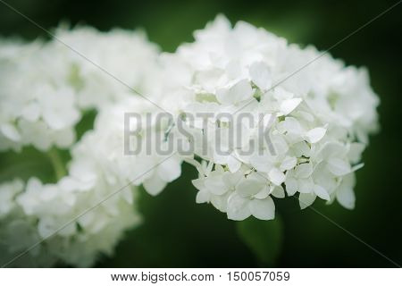 White inflorescence of Smooth Hydrangea (Hydrangea arborescens)