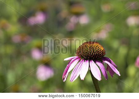Echinacea Purpurea (eastern Purple Coneflower).