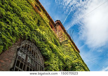Colorful ivy covers walls on the old building.