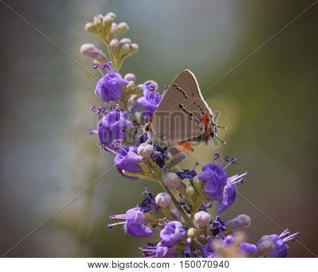 a gray hairstreak butterfly on a purple flower out in nature