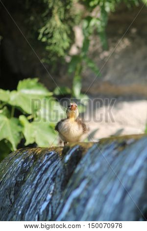 a baby duckling at the edge of a waterfall getting ready to jump into the pond below