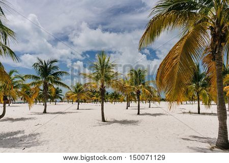 Yellowish green palm trees growing right out of the white sand beach of Cayo Largo, Cuba