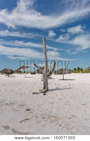 Dry tree standing on the shore of the Caribbean Sea on the white sand beach of Cayo Largo, Cuba