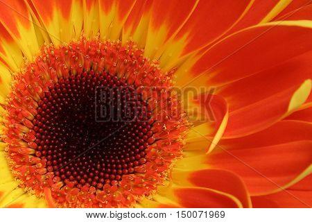 Orange and yellow Gerber Daisy close up