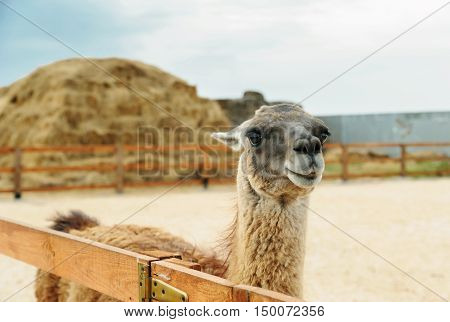 Animals in captivity. Lama is behind the fence on the background of stacks of straw.