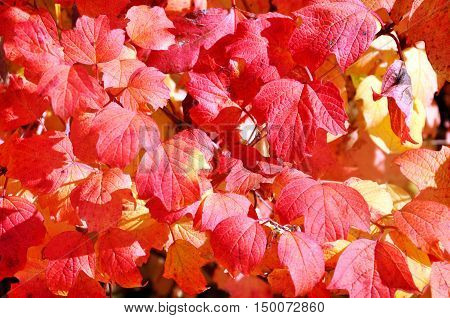abstract background with red autumn leaves for your design
