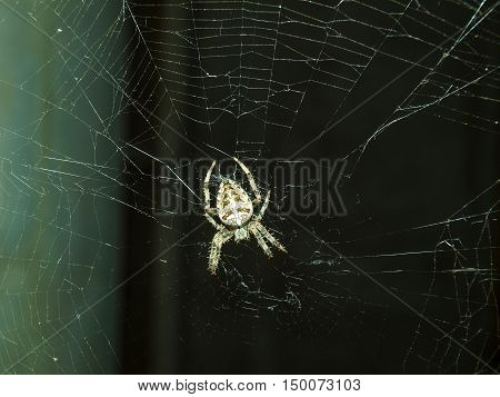 Fearsome spider Araneus awaits its prey in the web center