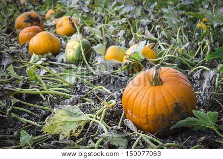 horizontal image of pumpkins lying in a field of green vines ready for harvest in the fall time.