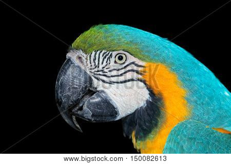 Portrait of a brightly colored Blue-and-yellow Macaw (Ara ararauna) on black