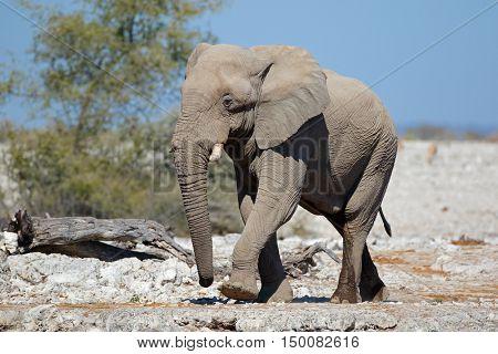 Large African bull elephant (Loxodonta africana), Etosha National Park, Namibia