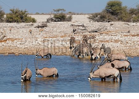 Gemsbok (Oryx gazella) and zebras (Equus burchelli) at a waterhole, Etosha National Park, Namibia