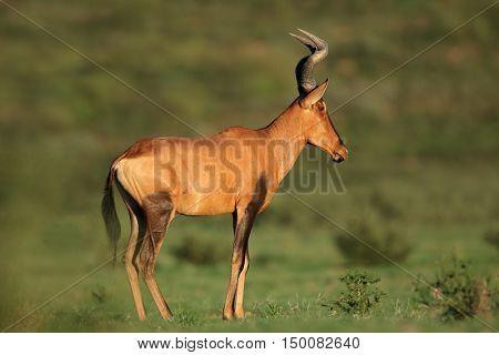A red hartebeest antelope (Alcelaphus buselaphus), Kalahari, South Africa