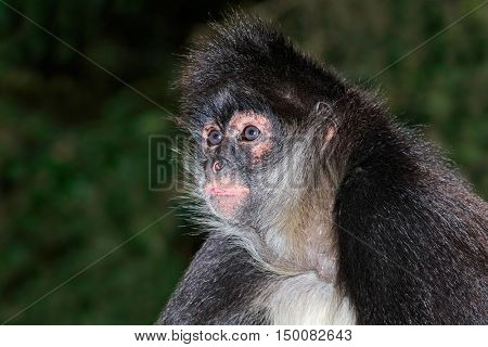 Portrait of a spider monkey (Ateles geoffroyi)