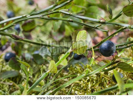 Wild blueberries closeup. Live nature. Forest. Blurred background