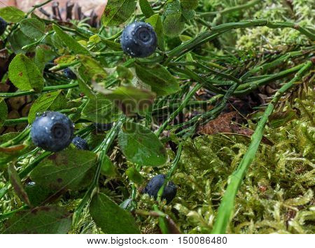 Bush with blueberries after the rain in the forest. Natural background