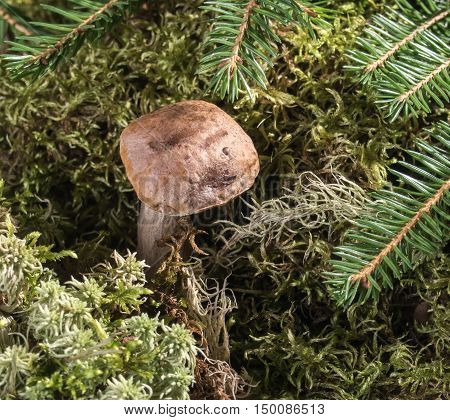 Boletus growing in the moss in the forest