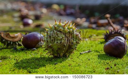 Ripe chestnuts in the Park on the ground