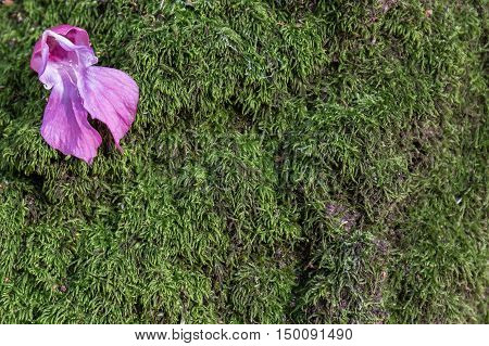 Lilac flower on the moss on a tree in the forest