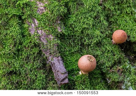 Fungus (mushrooms) on moss in the forest. Background.