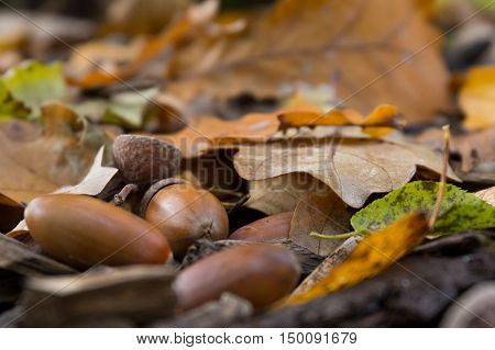 Acorns dry oak leaves sticks on the ground in the autumn forest close-up Background