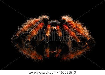 Close-up Big hairy Red Tarantula Theraphosidae isolated Black Background with Reflection