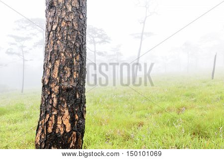 Closeup of the pine tree with the grass field in fog at morning