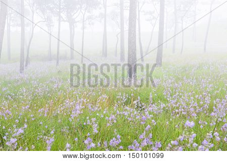 The pink flower field in the pine forest with the fog at northern of Thailand