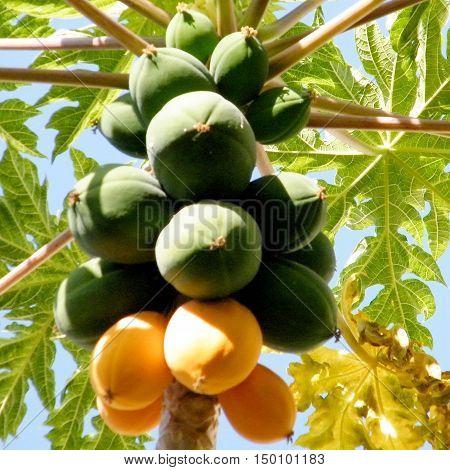 Papaya fruit on a tree in Or Yehuda Israel November 14 2010
