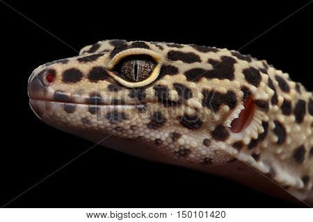 Close-up head of Leopard Gecko Eublepharis macularius Isolated Black Background, Side view on Eyes