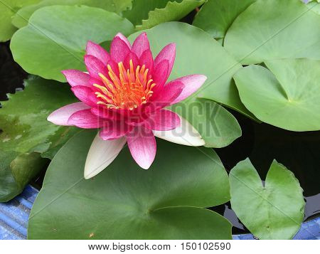 Pink lotus flower on the green leaves background.